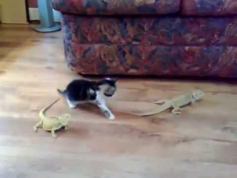 ★ Gatico se enloquece del susto por Iguana ★ humor gatos ★ videos mas vistos