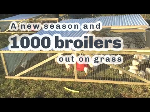 1000 broilers out on pasture and quick decisions seemed to have paid off