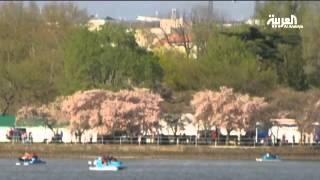افتتاح مهرجان أزهار الكرز في واشنطن