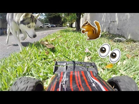 Husky Chases Toy Squirrel on RC Car!