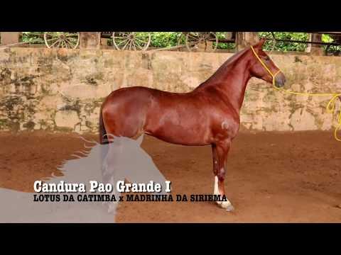 ÉGUA DA SEMANA - CANDURA PAO GRANDE I - MANGALARGA MARCHADOR