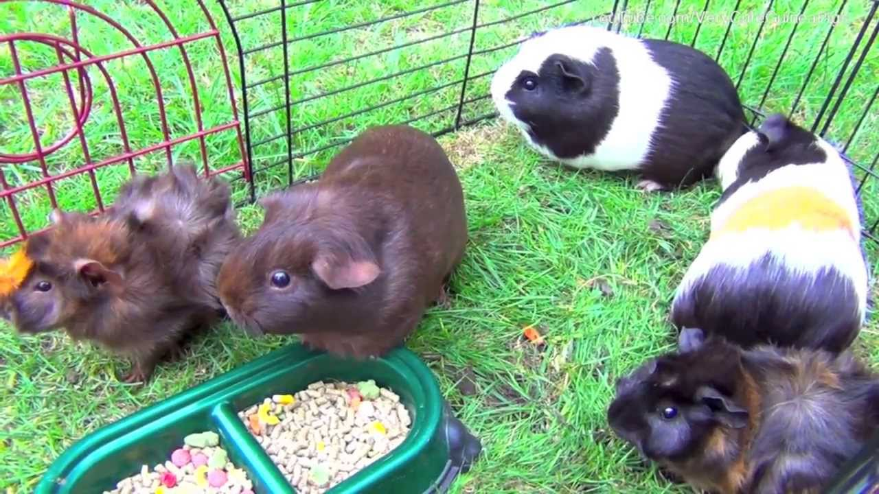Funny Guinea Pigs Living: Walking, Eating, Squeaking ...