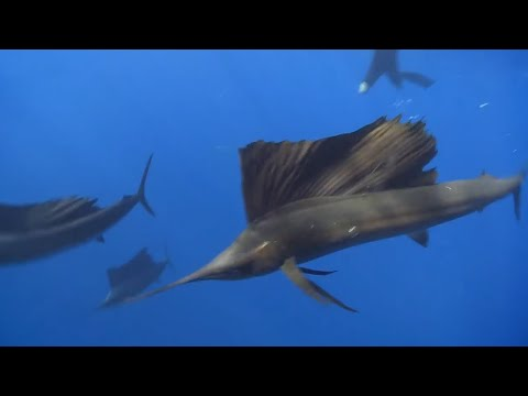 Deadly Ocean Predators: Sail Fish Hunt - Deadly 60 - Series 3 - BBC