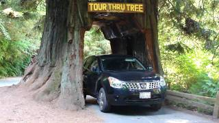 Drive Thru tree in Redwood Forest, California