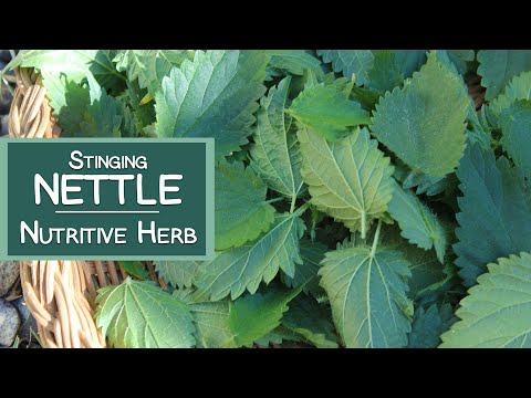 Stinging Nettle, A Nutritive Herb and Energizing Tea