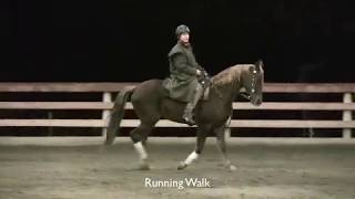 Tennessee Walking Horse- Gaits