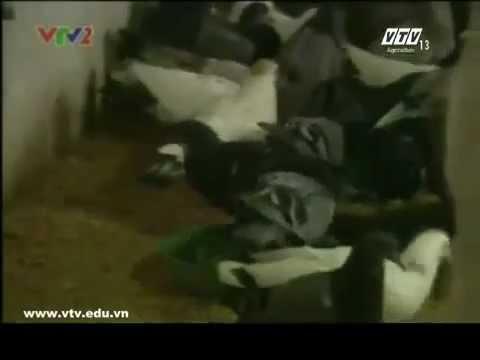 mô hinh nuôi chim  bò câu