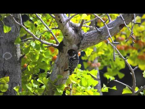 Japanese Pygmy Woodpecker コゲラ 巣作り