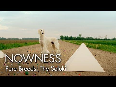 Video zu Saluki