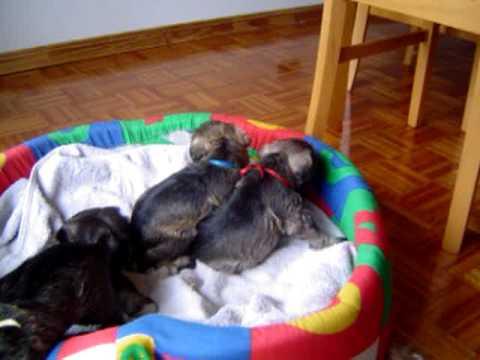 Cachorros Schnauzer Mini de 1 mes