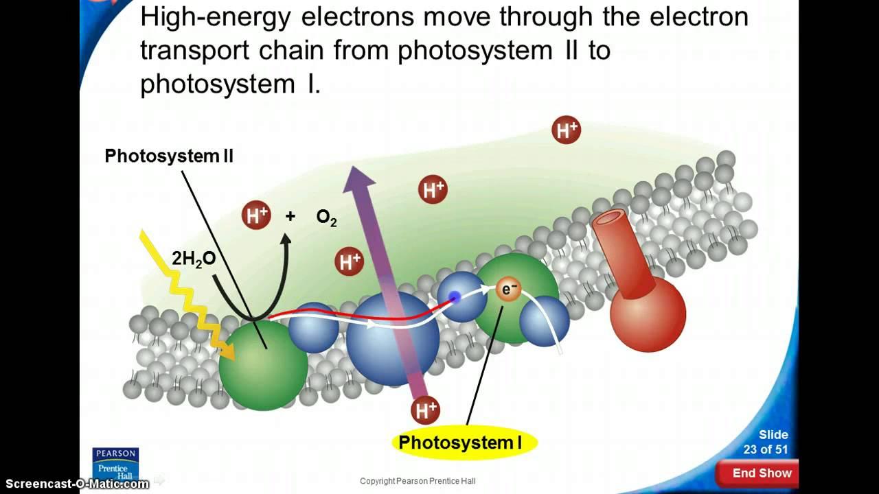 Light Dependent Reactions Flow Chart