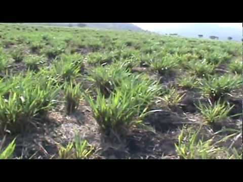 Pasto Mulato II en area muy seca