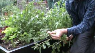 SmartGrowers How To Control Bolting Salad Rocket And Mizuna