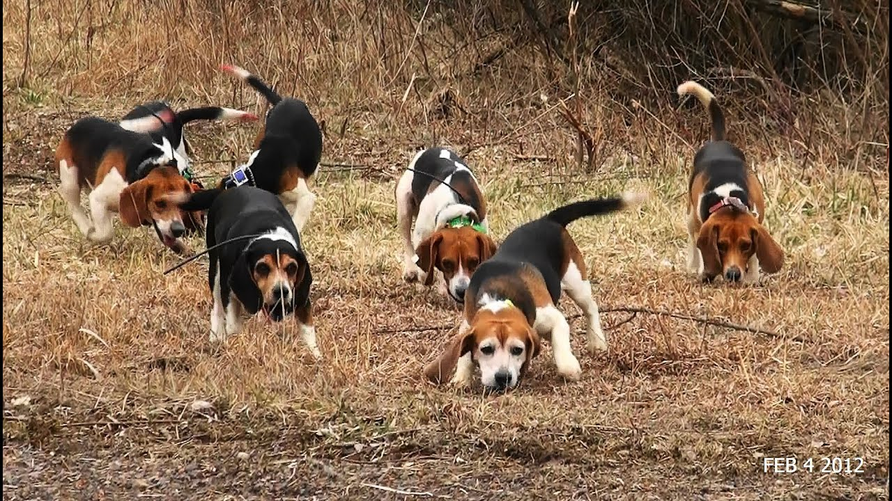 Beagle hunting fox - photo#8