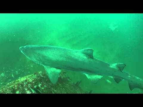 Sand Tiger Sharks on the Caribsea Wreck
