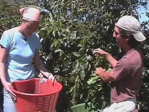 KNOW YOUR STUFF! - Coffee picking lesson (7/16)
