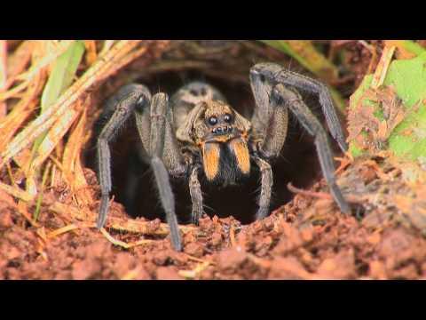 狼蜘蛛在洞內等待 秒殺其它昆蟲!