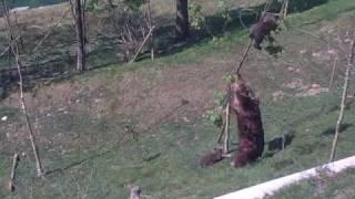 木から降りれない小熊を振り落とす母親