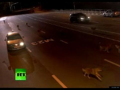 CCTV: Wolves attack Russian traffic cops on M23 highway>CCTV: Wolves attack Russian traffic cops on M23 highway