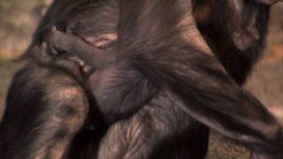 Baby Bonobo First Video-Cincinnati Zoo