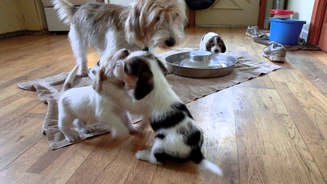 Petit basset griffon vende en dog foto bugil bokep 2017 - Petit basset hound angers ...