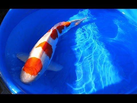 Koi Fish Selection | Jumbo 2 Year old Kohaku Koi from Japan