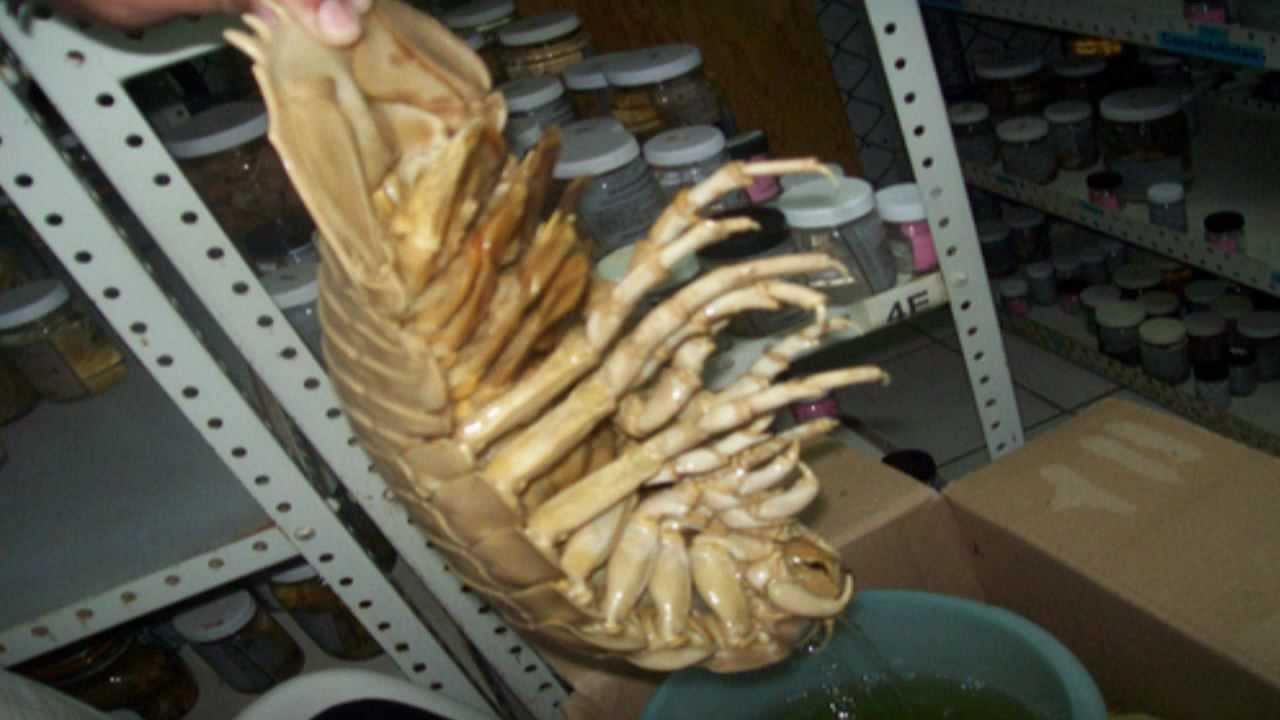maxresdefault jpgGiant Isopod Edible