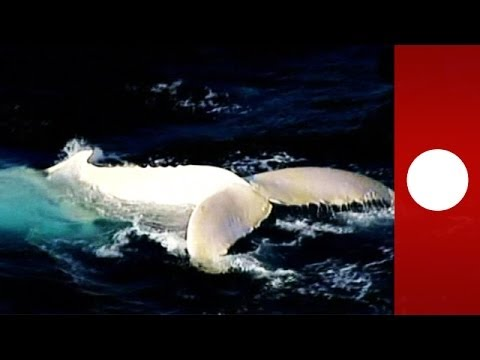 Meet Migaloo: Extremely rare white whale spotted off Australia coast