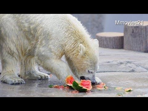 秋まつり!ホッキョクグマに活魚給餌~Polar Bears are eating