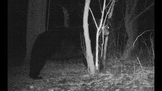 Black Bear triggers a live catch trap that was set out for raccoons...