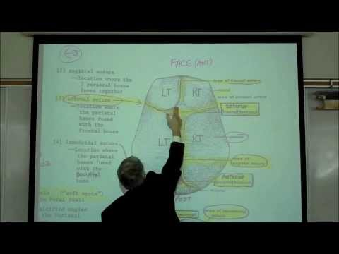 Copy of THE HUMAN SKULL; PART 1 by Professor Fink