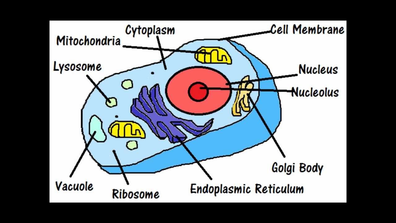 cells and their parts This exploration of plant and animal cell organelles and cell structure is presented plant and animal cells to learn about their two parts, a large subunit.