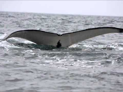 Arabian Humpback whale song in Dhofar region