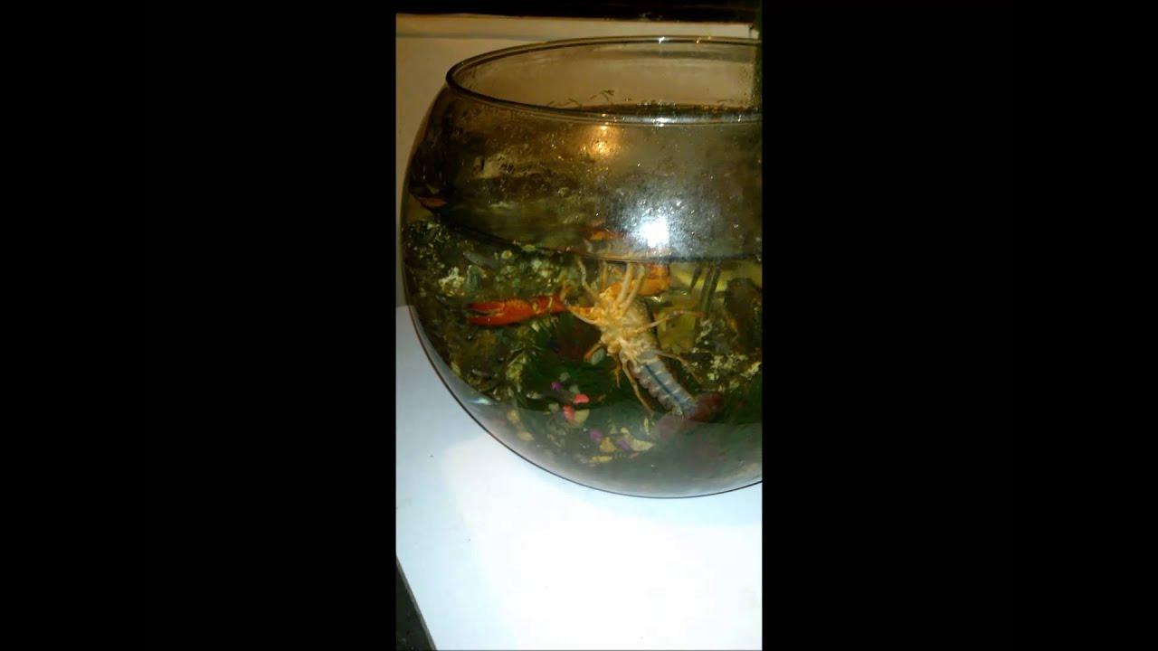 langosta de agua dulce: