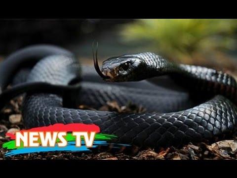 Top 15 loài rắn độc nhất thế giới