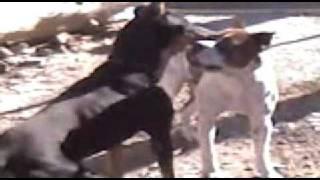 Fight Dog Doberman Vs Sanbernardo/boxer