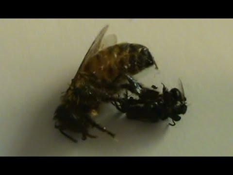 Beekeeping: Honeybee vs Native Stingless Bees.