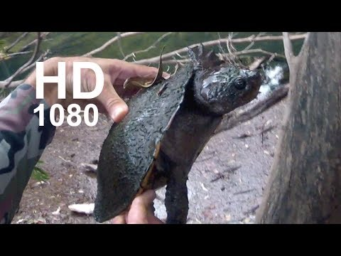 Turtle eats soft plastic lure Fishing Video Andysfishing
