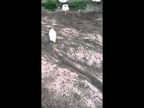 Chickens mating