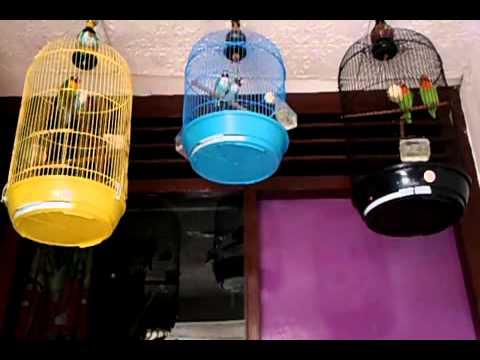 Lovebird biru - photo#18
