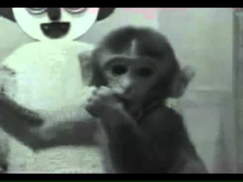 Harry Harlow Monkey Experiment Contact Comfort