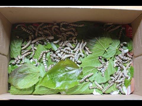 Limpieza caja de gusanos de seda