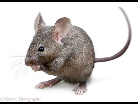 A crazy mouse or rat running in circles