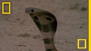Cobra vs. Mongoose