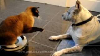 Roomba Cat Swats Dog Pit Bull Sharky. Max-Arthur On IRobot