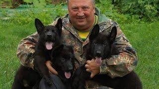 Видео - Немецкие овчарки в питомнике Хаус Чирва