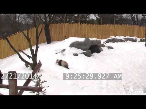 Toronto Zoo Giant Panda Da Mao Plays in the Snow