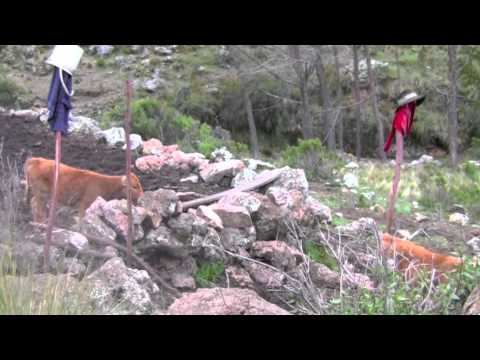 Milking and herding in the Andes (Liscay, Peru)