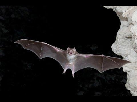Significado de soñar con Murciélagos | Batman