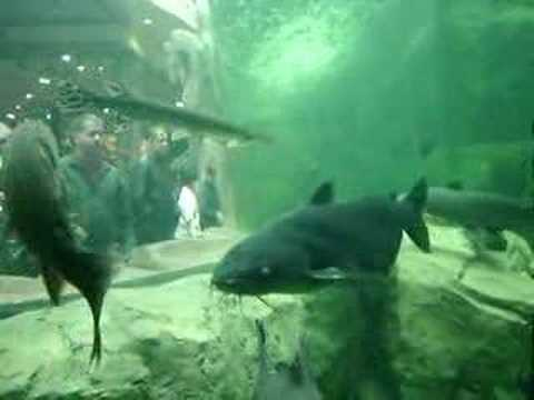 Fish tank at the bass pro shop in clarksville in youtube for Bass fish tank
